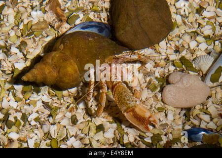 common hermit crab, Gemeiner Einsiedlerkrebs in Schneckengehäuse, Einsiedler-Krebs, Pagurus bernhardus, Eupagurus bernhardus,