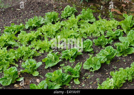 Lettuces growing in garden - Stock Photo