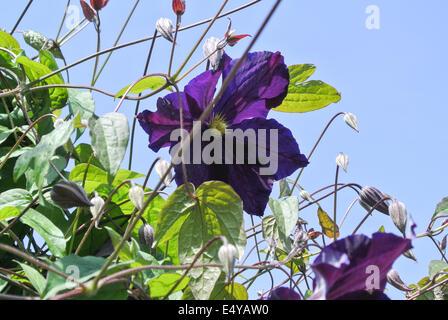 Clematis 'Viola' - Stock Photo
