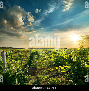 Green grape field in the evening sun - Stock Photo