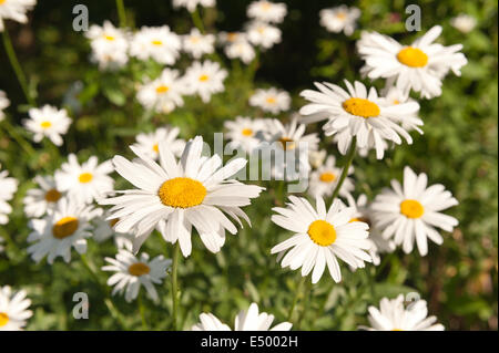 collection and clump of lots of pretty Oxeye daisy plants flowers at their prime enjoying the sunshine - Stock Photo