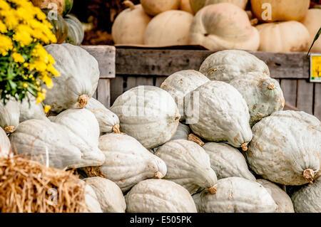 blue pumpkins on farmers market display - Stock Photo