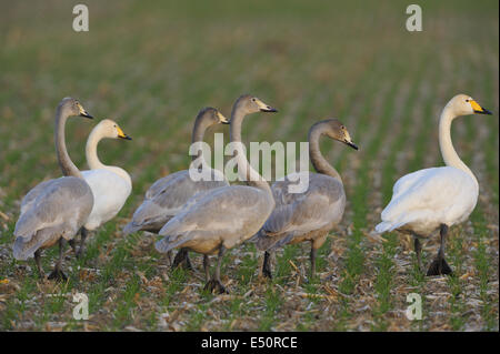 Whooper swans - Stock Photo