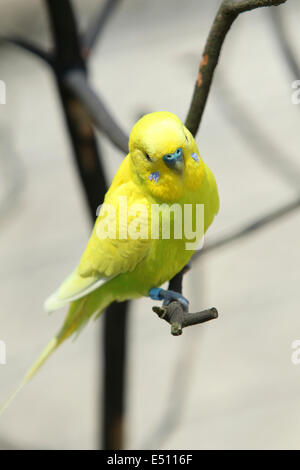 Budgie perched on a branch. - Stock Photo