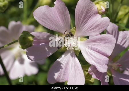 Thuringian mallow - Stock Photo