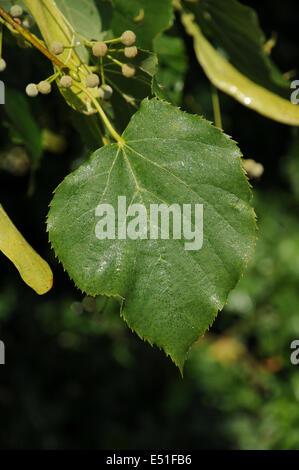 Lime-leaf with honeydew - Stock Photo