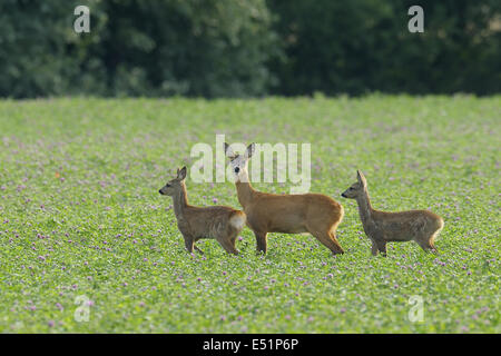 Roe deer with fawns, Germany - Stock Photo