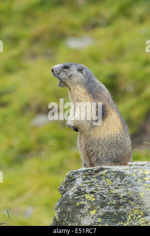 Marmot, Marmota marmota, Austria, Europe - Stock Photo