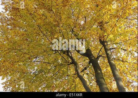 Beech forest in autumn, Germany - Stock Photo