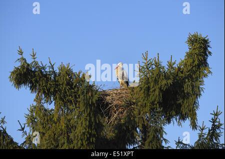 White stork, Germany - Stock Photo