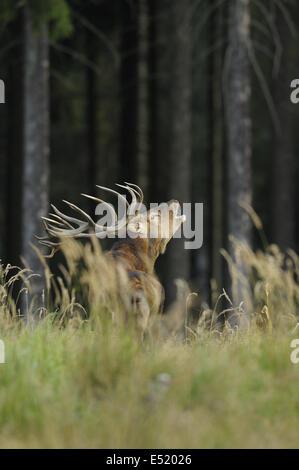 Red deer, Cervus elaphus, Germany - Stock Photo