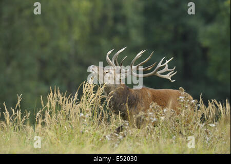 Red deer, Cervus elaphus, Germany - Stock Photo