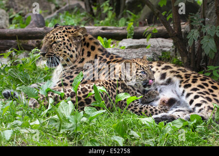 Amur Leopard and her three-month-old cub - Stock Photo