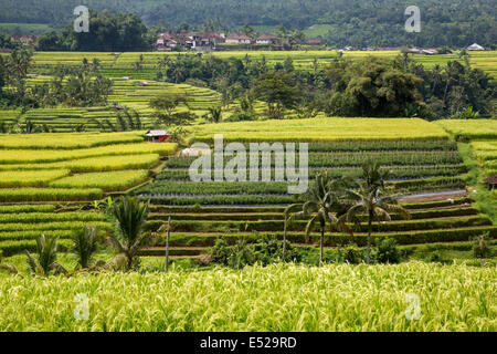Jatiluwih, Bali, Indonesia.  Terraced Rice Paddies.  Rows of Peppers in the Middle. - Stock Photo