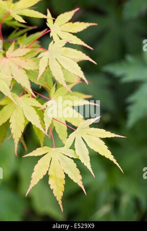 Acer palmatum 'Sango-kaku'. Coral bark maple in Spring. - Stock Photo