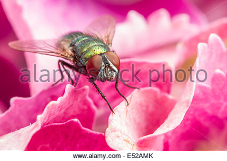 Green-Bottle Fly (Lucilia sericata) at rest on Hydrangea flower - Surrey, England - Stock Photo