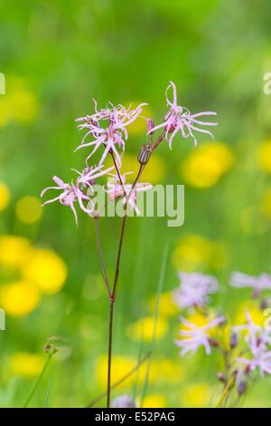 Ragged Robin Lychnis flos cuculi flowering in damp pasture Somerset UK - Stock Photo