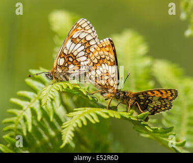 Paired Heath Fritillary butterflies with a second male trying to join in the action - Bin Coombe on Exmoor Somerset - Stock Photo