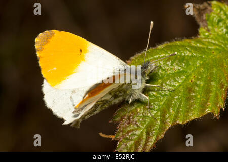 Male orange tip butterfly, Anthocharis cardamines - Stock Photo