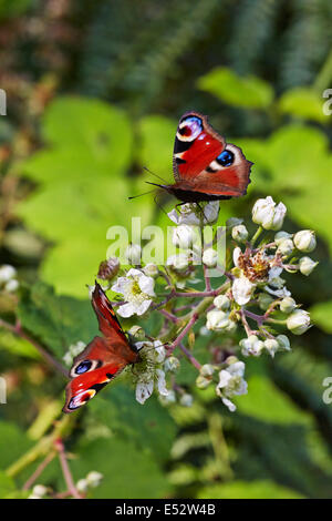 Peacock butterflies feeding on bramble flowers. Bookham Common, Surrey, England. - Stock Photo