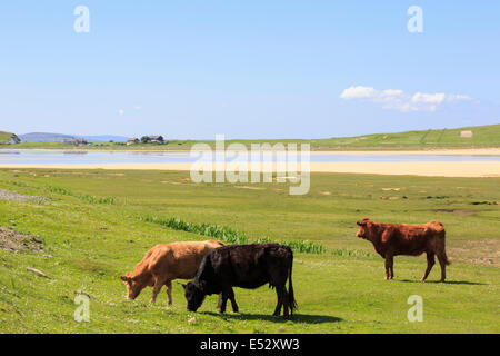 Three free range cattle grazing on natural coastal Machair pasture at Traigh Scarasta beach on Isle of Harris Outer - Stock Photo