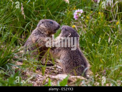 Juvenile Alpine Marmots (marmota marmota) play fighting, Pordoi Pass, Dolomites, Italy - Stock Photo