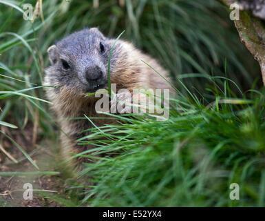 Juvenile Alpine Marmot (marmota marmota) feeding on grass, Pordoi Pass, Dolomites, Italy - Stock Photo