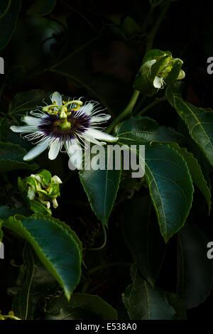 Passiflora edulis, passion fruit flower - Stock Photo