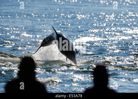 Bottlenose Dolphin breaching in front of onlookers at Chanonry Point, Scotland - Stock Photo