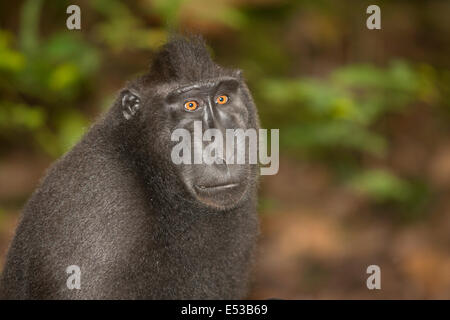 black crested macaque - Stock Photo