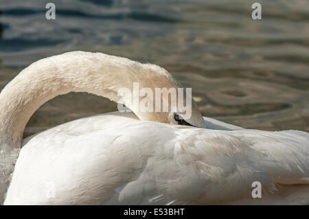 Mute Young Swan Cleaning its feathers, preening itself, close up - Stock Photo