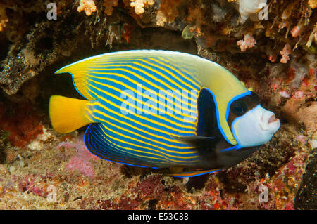 Emperor Angelfish, Mabul, Malaysia - Stock Photo