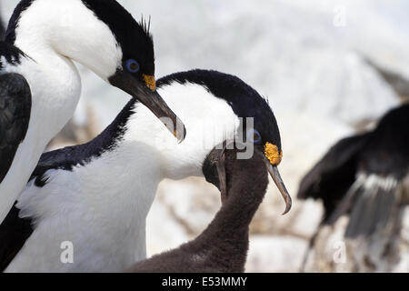 male and female blue-eyed Antarctic cormorant that feeds the chick in the nest - Stock Photo