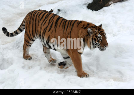 Siberian tiger walking on cloudy winter day - Stock Photo