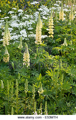 Yellow and white planting combination of lupinus chandelier yellow and white planting combination of lupinus chandelier orlaya grandiflora designer l mozeypictures Images