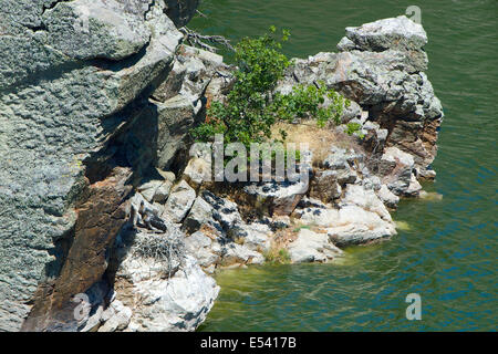 A Black Stork (Ciconia nigra) nest, strategically placed in an inaccessible rock in the Tajo river, with two large - Stock Photo