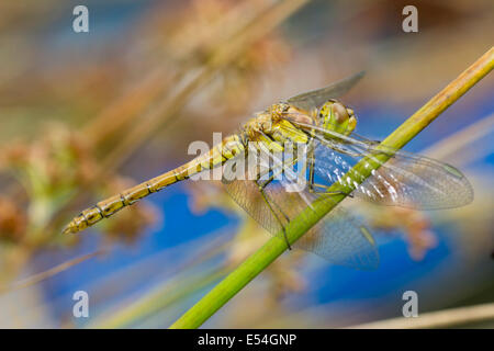 Female common darter dragonfly, Sympetrum striolatum - Stock Photo