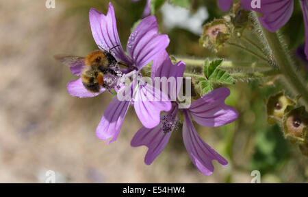 Bee covered in pollen sat on common mallow number 3483 - Stock Photo