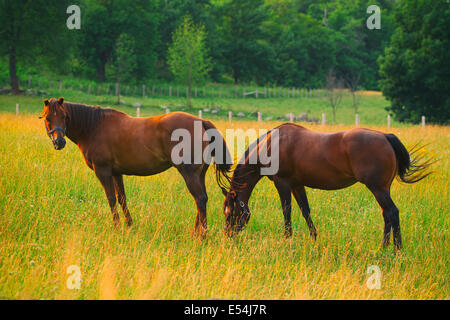 Two brown horses in a pasture, one rolling around on its ...