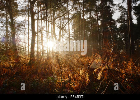 A cobweb catches the early morning sun in winter in Thetford Forest - Stock Photo