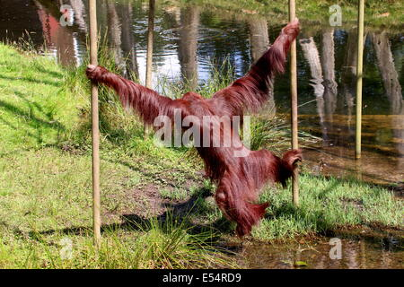 Mature Borneo orangutan (Pongo pygmaeus) swinging from pole to pole at Apenheul Primate Zoo, The Netherlands - Stock Photo