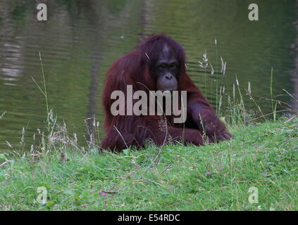 Lone female Borneo orangutan (Pongo pygmaeus) - Stock Photo