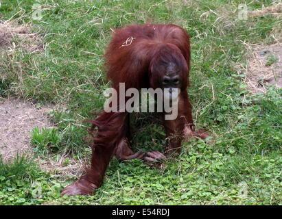 Walking Borneo orangutan (Pongo pygmaeus) - Stock Photo