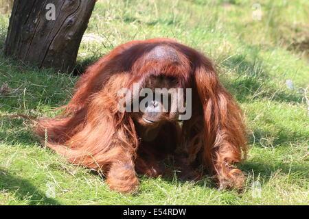 Mature male (Bornean) orangutan (Pongo pygmaeus) walking on the ground - Stock Photo