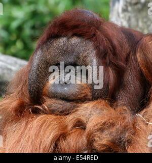 Close-of the head of a mature male (Bornean) orangutan (Pongo pygmaeus), called Kevin (Apenheul Zoo) - Stock Photo