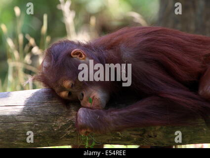 Juvenile orangutan (Pongo pygmaeus or Abelii) dozing in the shade - Stock Photo