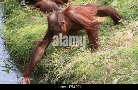 Juvenile orangutan (Pongo pygmaeus or Abelii) drinking water - Stock Photo