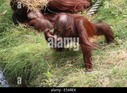 Juvenile Borneo orangutan (Pongo pygmaeus) drinking water at Apenheul Primate Zoo, Apeldoorn, The Netherlands - Stock Photo
