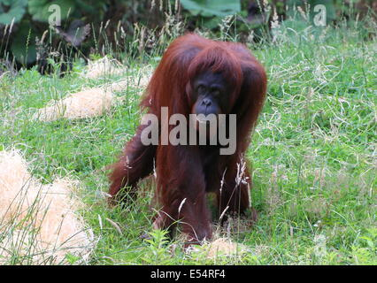Walking mature female (Bornean) orangutan (Pongo pygmaeus) - Stock Photo