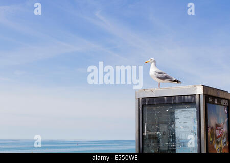 Herring gull (Larus argentatus) perched on a phone box, Brighton, East Sussex, England, UK - Stock Photo